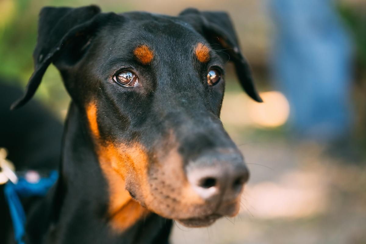 Qualzucht – Dobermann?