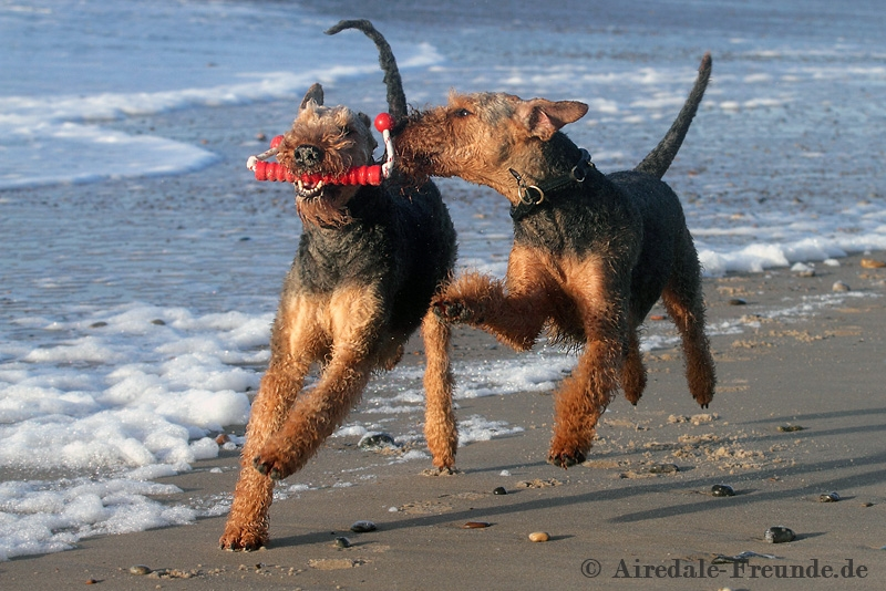 Airedale 2