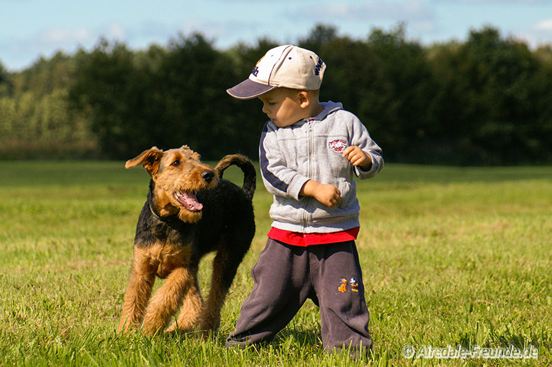 Airedale 4