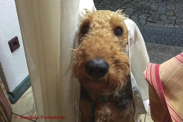 Airedale 5