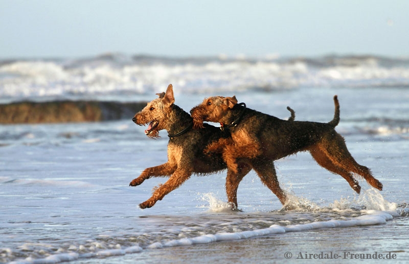 Airedale 7