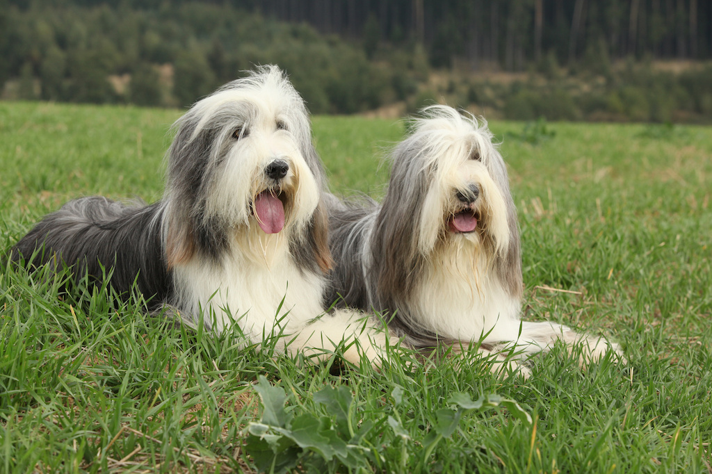 beardedcollies3